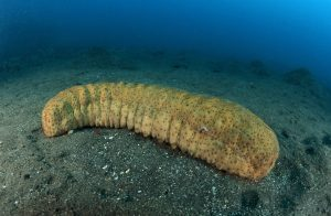 sea cucumber health benefits
